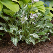 Alley Oop Hosta