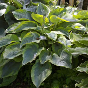 Alvatine Taylor Hosta