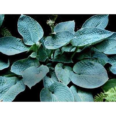 Abiqua Blue Crinkles Hosta