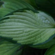 Alice in Wonderland Hosta