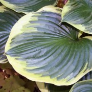 All That Jazz Hosta