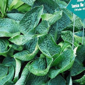 American Blue Hearts Hosta