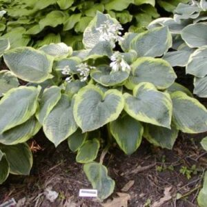 Abiqua Moonbeam Hosta