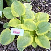 August Beauty Hosta