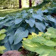 Azure Snow Hosta