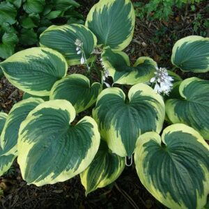 Band of Gold Hosta