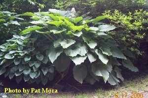 Bea's Colossus Hosta