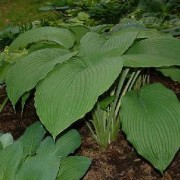 Behemoth Hosta