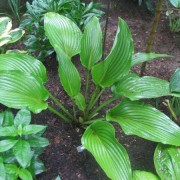 Big Bopper Hosta
