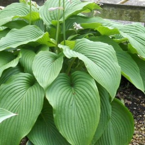Big Boy Hosta