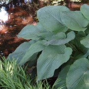 Big Foot Hosta