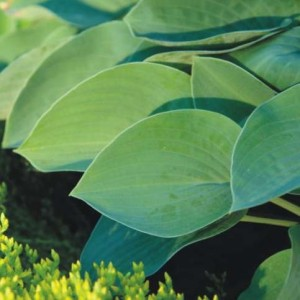 Blue Belle Hosta