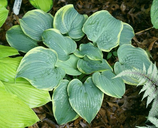 Blue Flame Hosta
