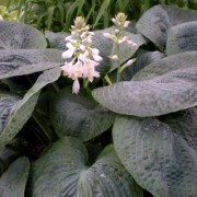 Blue Ox Hosta