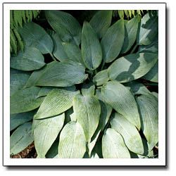 Blue Tooth Hosta
