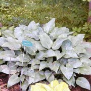 Blue Whirls Hosta