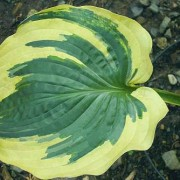 Brass Ring Hosta