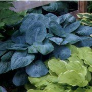 Buckeye Blue Hosta