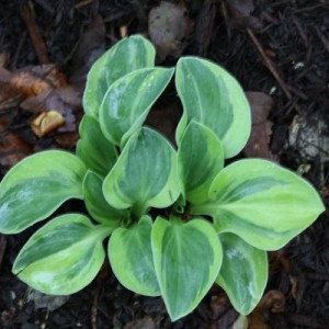 Calico Mouse Ears Hosta