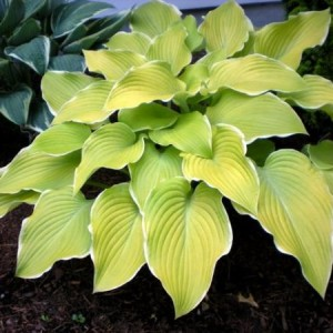 Lakeside Cha Cha Hosta