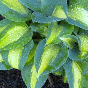 Chain Lightning Hosta