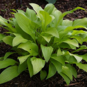 Cherry Tart Hosta