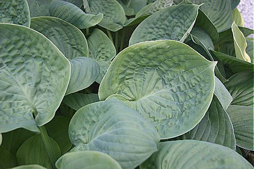 Cloudburst Hosta
