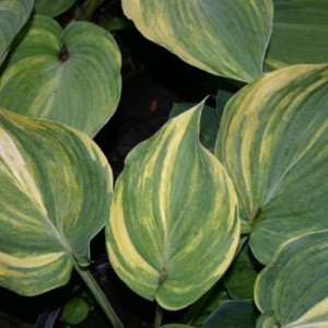 Confused Angel Hosta