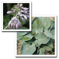 Cool Waters Hosta