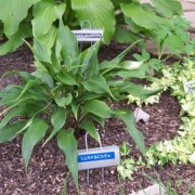 Corkscrew Hosta