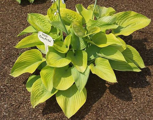 Crazy For You Hosta