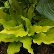 Dab a Green Hosta