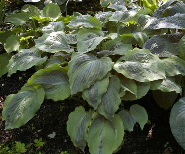 Dark Shadows Hosta
