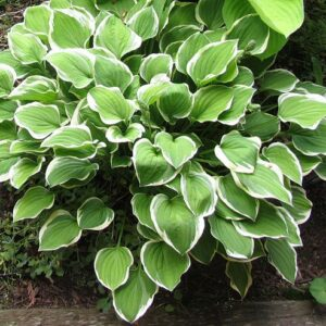 Diamond Tiara Hosta