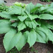 Donahue Piecrust Hosta