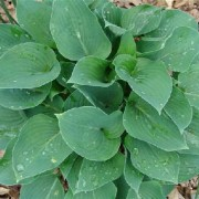 Dorset Blue Hosta