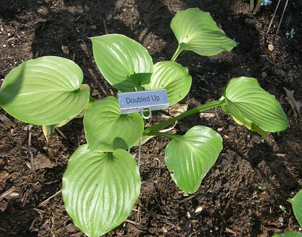 Doubled Up Hosta