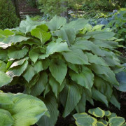 Dragon Wings Hosta