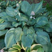 Dream Maker Hosta