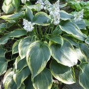 Duke of Cornwell Hosta