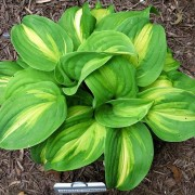 Emerald Charger Hosta