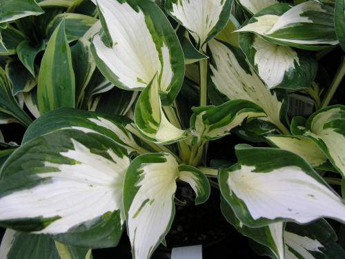 Eternal Flame Hosta