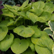 Fat Cat Hosta