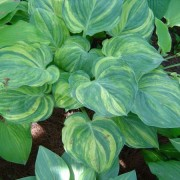 Fickle Blue Genes Hosta