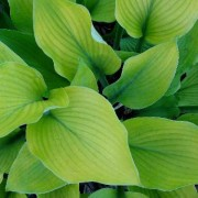 Foxfire Flash Hosta
