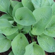 Foxfire Irish Moon Hosta