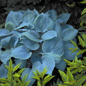 Fragrant Blue Hosta
