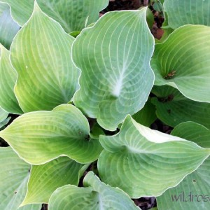 Frosty Morn Hosta