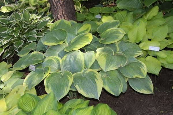 Garden Treasure Hosta