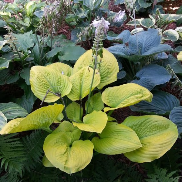 Giantland Golden Goddess Hosta